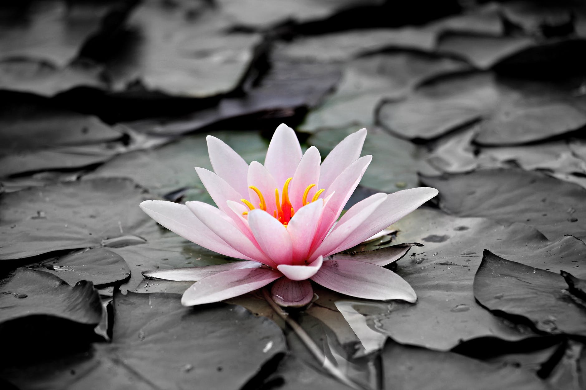 pink and white lotus flower